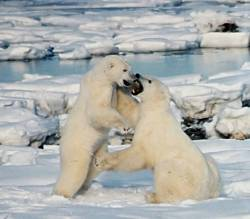 Polar_Bears_Play_Fighting